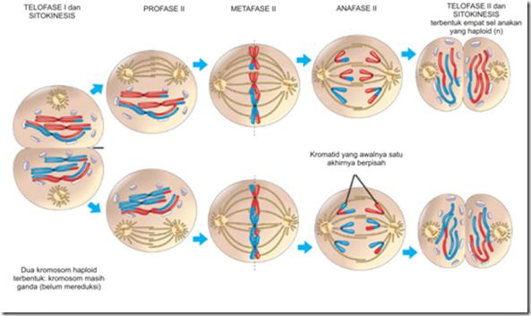 Reproduksi Sel | Biologi Sejati