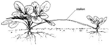 Gambar Stolon pada Tanaman Arbei