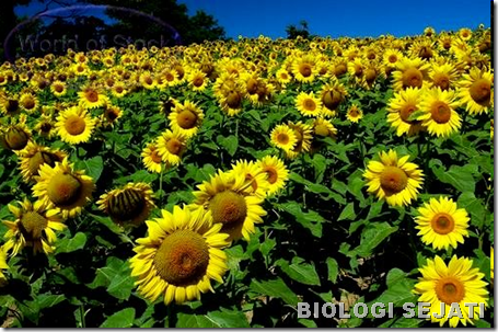 Bunga_matahari_fototropisme
