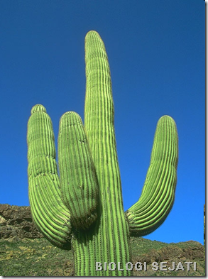 kaktus_hidrotropisme
