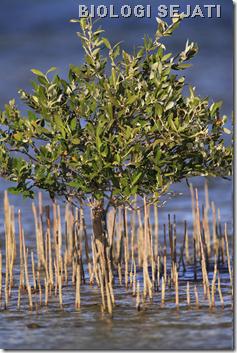 Mangrove_kemotropisme