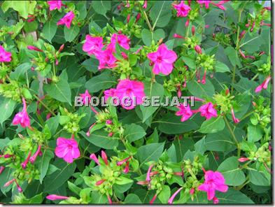 Bunga pukul empat_fotonasti