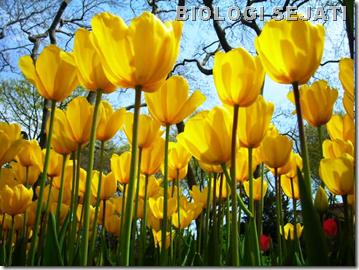 Tulip_termonasti