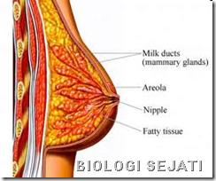 Payudara anatomi