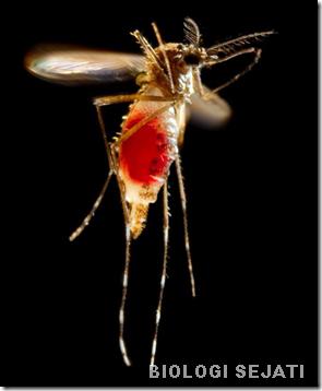 nyamuk_menghisap darah