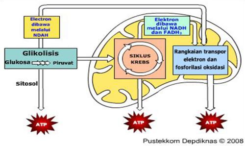katabolisme sel